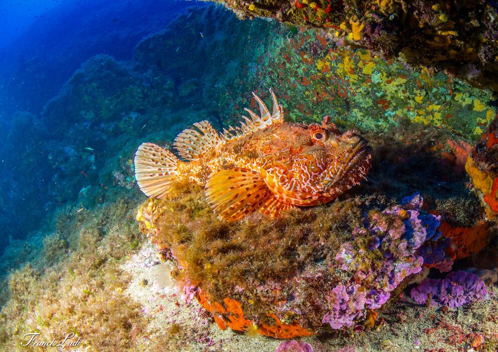 vue d'une rascasse posée sur un rocher des îles d'or à hyères