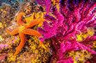 une étoile de mer sur un corail de la baie de Cavalaire
