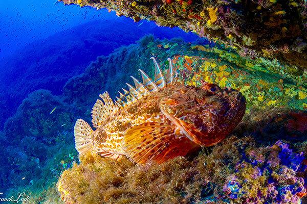 Une rascasse sur un récif du var