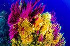 Les coraux de la méditérranée
