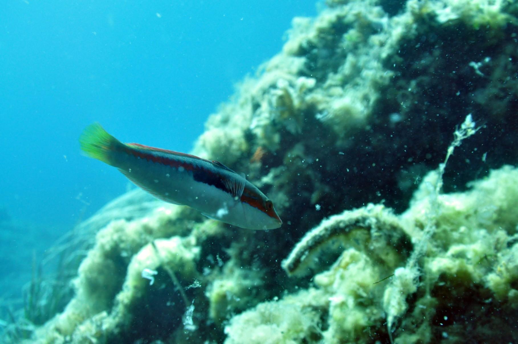 Plongée sous marine port cros les dalles de bagaud